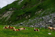 Many Cows Lying In Green Grass In The Mountains While Hiking