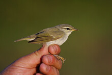Arctic Warbler (Phylloscopus Borealis) Held By Ornithologist And Bird Ringer For Scientific Bird Ringing, Khenti, Mongolia