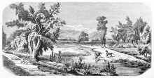 Happy Small Horses Couple On A Horizontal Bucolic Landscape In Tabalopa Ranch, Mexico. Ancient Grey Tone Etching Style Art By Sargent And Rond�, Le Tour Du Monde, 1861