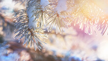 Young Pine Tree Branch With A Cone Covered With Hoarfrost, Needles Close-up. Evergreen Coniferous Forest At Sunset, Soft Light. Winter Wonderland, Christmas, Pure Nature. Graphic Resources, Copy Space