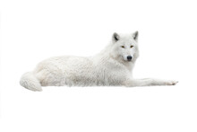 A White Arctic Wolf Lies In The Snow. Isolated On White Background.