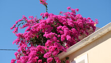 Bright Pink Bougainvillea Shrub On A House Wall