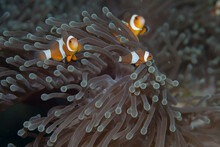 A Family Of Clown Fish In A Sea Anemone