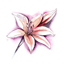Watercolor Image Of Gentle Pink Lily On White Background. Blooming Flower Head With Long Curved Petals And Unopened Bud In Lilac Glow. Hand Drawn Botanical Illustration Of Garden Plant