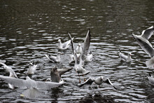 Flock Of Gulls Starting To Fly From A Calm Lake Water Surface