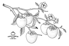 Set Of Hachiya Persimmon Fruit Hand Drawn Elements Botanical Illustration