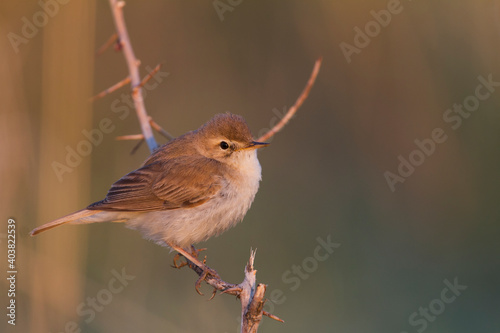 Kleine Spotvogel, Booted Warbler, Iduna caligata Wallpaper Mural
