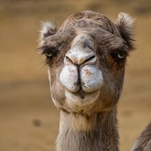 Dromedary, Camelus Dromedarius In Jerez De La Frontera, Andalusia, Spain