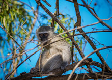 Vervet Monkey Cercopithecus Aethiops Sitting In A Tree, South Africa