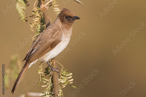 Common Bulbul, Pycnonotus barbatus barbatus Wallpaper Mural
