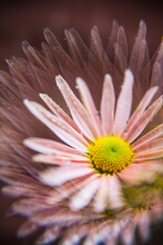 Pink Chrysanthemum Mums Flower Macro Closeup With Prism Effect