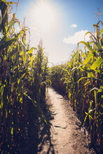 Empty Pathway Through A Corn Maze On A Sunny Fall Day.