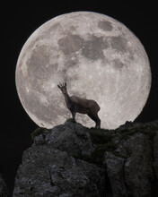 Chamois In Front Of The Full Moon At Night