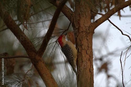 Photo Red bellied woodpecker