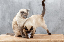 Two Thai Cats Are Playing With An Animal Toy