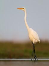 Grote Zilverreiger, Great White Egret, Ardea Alba Alba