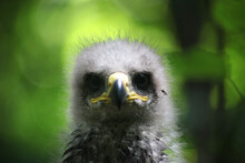 Portrait Of A Young Eagle, With Downy Plumage, In The Wild, Looking Into The Frame. Close-up, Against The Backdrop Of A Picturesque Bokeh.