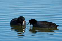 A Pair Of American Coots Looking For Food While Swimming