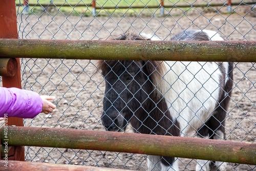 Canvastavla Child feeding pony in mini zoo , horses in captivity