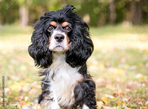 Fotografering A purebred tricolor Cavalier King Charles Spaniel dog sitting outdoors