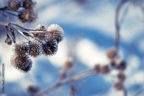 Fotografie, Obraz Dry thistles covered with frost on the background of blue snow