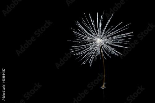 Fototapety, obrazy: Dandelion seed on a black isolated background, macro.