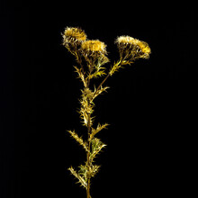 Fantastic Shot Of Golden Thistles With Thorned Leaves Isolated On A Black Background