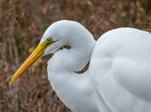 Great Egret Stalking Prey In A Wetland