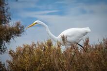 Great Egret Stalking Prey In A Wetland