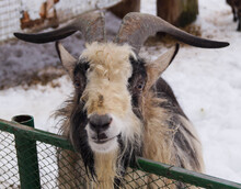 A Frontal Portrait Of A Goat With Horns Against A Snow Background