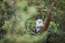 Male Ural Owl (Strix Uralensis) Sitting On A Pine Tree