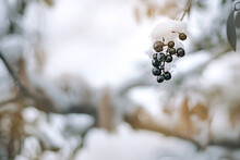 Winter Blurry Background. Berry Fruit With Berry Background With Empty Space.