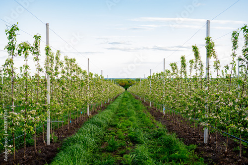Wallpaper Mural Young Apple orchard with drip irrigation system for trees