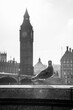 canvas print picture Pigeon with Big Ben on background in London UK