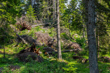 Uprooted Trees In The Forest