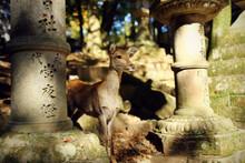 Japanese Cute Deer