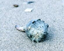 Whelk Seashell On A Sandy Beach