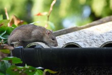 Close-up Of Rat On Roof