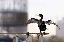 Selective Focus Shot Of A Double-crested Cormorant Perch On A Metal Railing In The Park
