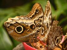 Giant Owl Butterfly (Caligo Memnon), Mindo, Ecuador