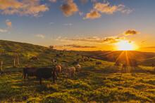 Hermoso Atardecer Calido En El Campo Con Las Vacas Comiendo Pasto