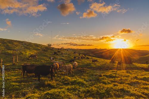 Hermoso atardecer calido en el campo con las vacas comiendo pasto Fototapet