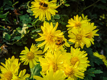 Closeup Shot Of Bees Pollinating Yellow Flowers