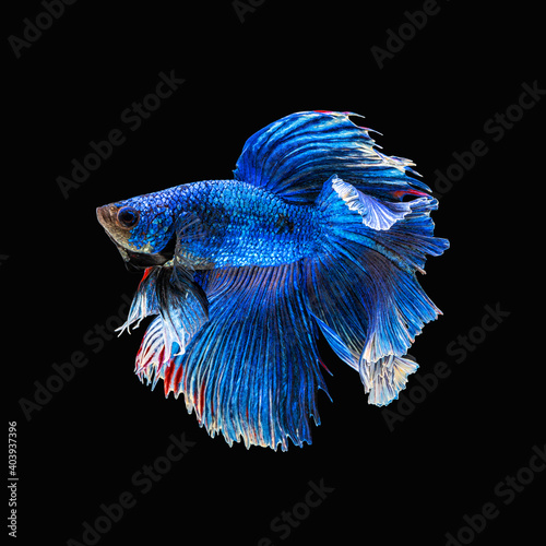 Movement beautiful of colorful siamese betta fish or half moon betta splendens fighting fish in thailand on black color background Poster Mural XXL