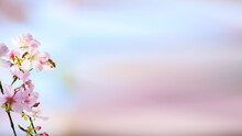 Spring Greeting Card Banner Blooming Apricot And Bee Pollinating A Flower Against The Blue Sky On A Sunny Day
