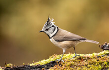 Cute Crested Tit In Autumn Background