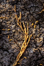 Rice Straw On Ground