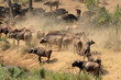 canvas print picture - Large herd of African buffaloes (Syncerus caffer), Kruger National Park, South Africa.