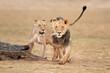 Leinwanddruck Bild Male and female African lions (Panthera leo), Kalahari desert, South Africa.