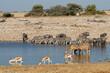 canvas print picture Plains zebras, blue wildebeest, springbok and kudu antelopes at a waterhole, Etosha National Park, Namibia.